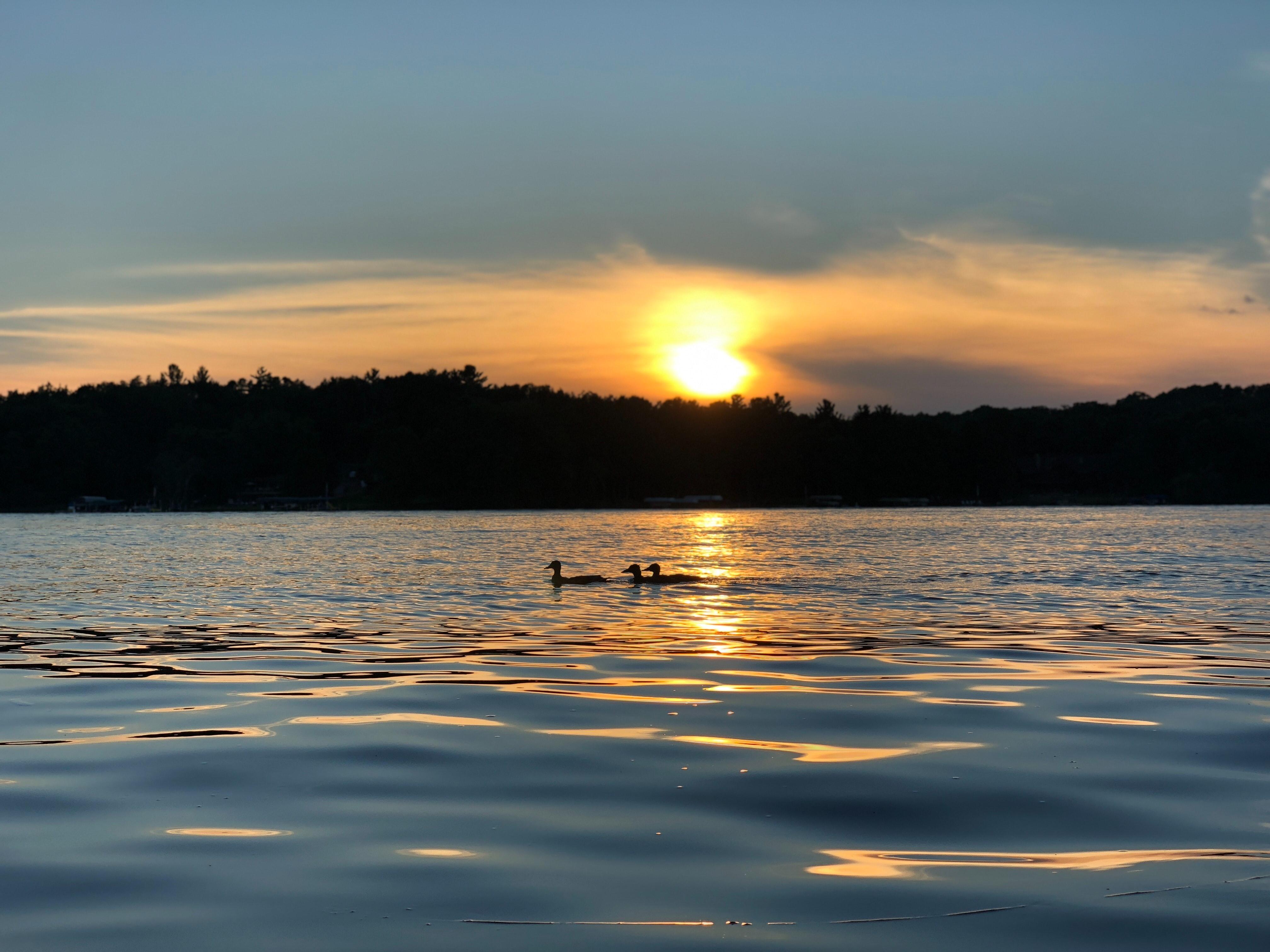 Loons on water, Minnesota USA