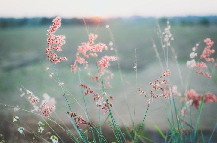 Pink Flowering Grass