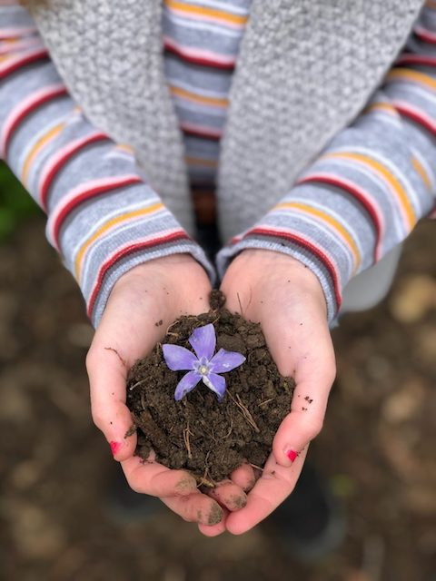 Person's hands holding soil with a purple flower.