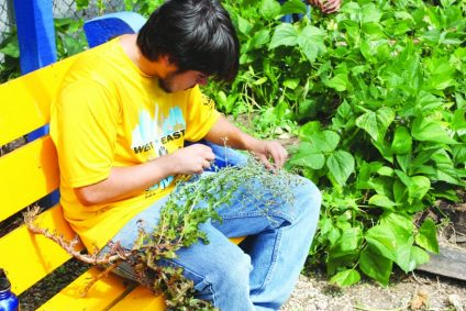 A NSNP Youth Saves Seed from Cilantro Plants