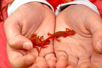 Little newt in two hands