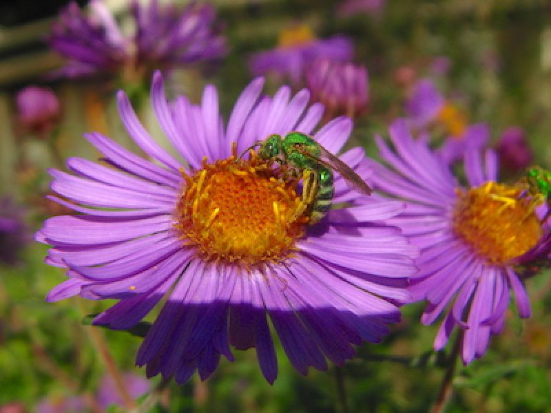 Green sweat bee on New England aster. Photo by Dave Crawford