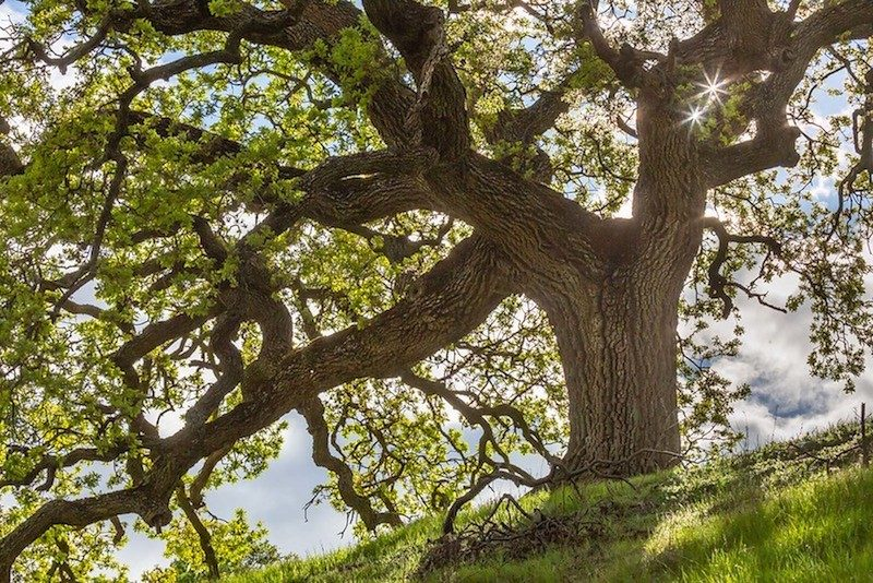 Photo of Live Oak Tree with green grass