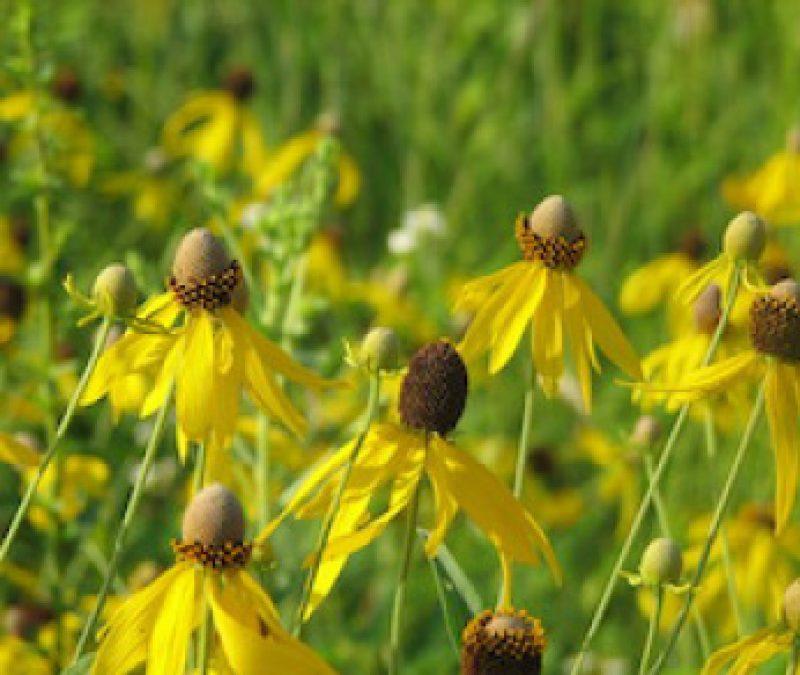 Yellow Prairie Flower in field
