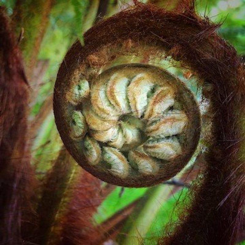 Unfurling fern photograph