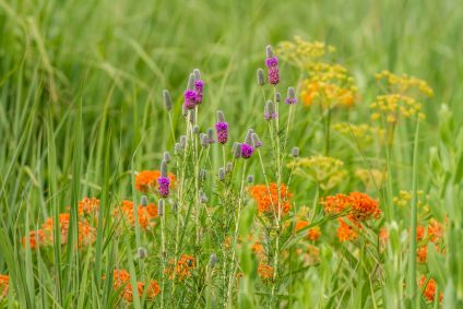 The colorful diversity of plant species is preserved in the restored, Schulenberg Prairie, at the Morton Arboertum.