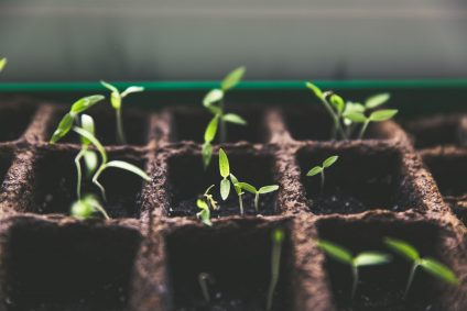 Seeds sprouting in rows