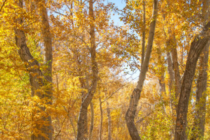 Colors of Fall ~ Along McGee Creek in the Eastern Sierras.