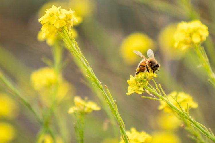 Bee on yellow flowers