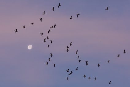 Flock of birds flying in front of moon and light purple sky