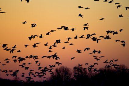 Birds flock at dusk