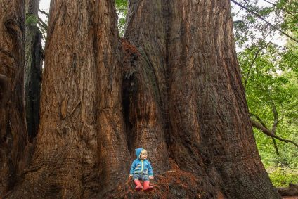 Blond child in blue shirt, hat and red pants sits at base of huge redwood