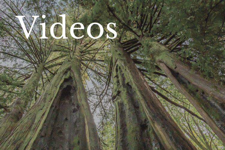 Photoraph of Sequoias by Kathy Barnhart